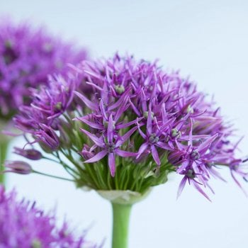 100pk Net Allium Violet Beauty