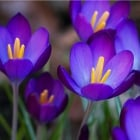 100pk Net Crocus Purple