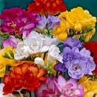 100pk Net Freesia Double Mixed