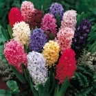 100pk Net Hyacinth Bedding Mixed