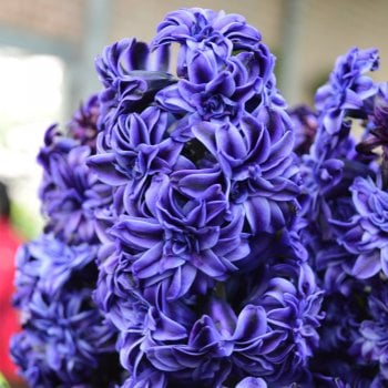 100pk Net Hyacinth Royal Navy (Garden Select)