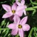 100pk Net Ipheion Uniflorum Charlotte Bishop