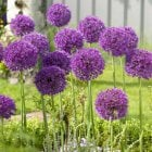 100pk Nets Allium Purple Sensation