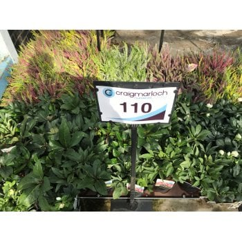 110. Helleborus Collection | 2 Litre