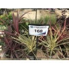 168. Cordyline Collection | 5 Litre