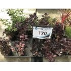 170. Cotinus cogg. Royal Purple | 3 Litre