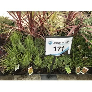 171. Cytisus Collection | 3 Litre