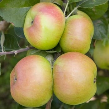 Apple Bramley Seedling - Cordon