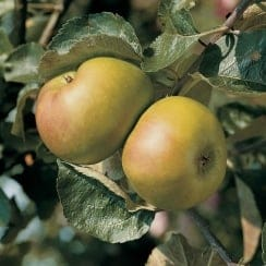 Apple Bramley Seedling M27