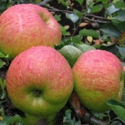 Apple Bramley Seedling MM106