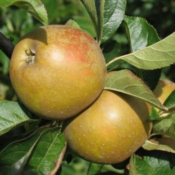 Apple Egremont Russet MM106