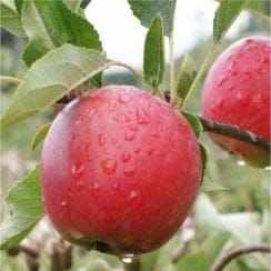 Apple Fiesta  (Red Pippin) M26