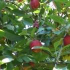Apple Golden Gate ® (Starline)