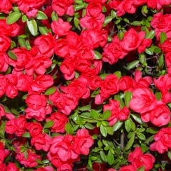 Azalea Evergreen Red