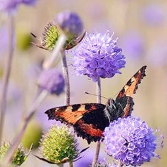 Bees and Butterflies Perennial Wildflower Seeds