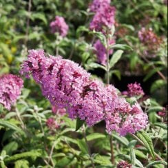 Buddleia Pink Delight