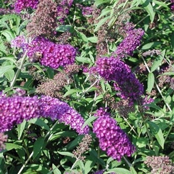 Buddleja Nanho Purple