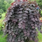 Cercis canadensis Ruby Falls