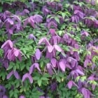 Clematis Alpina Tage Lundell
