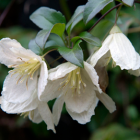Clematis Cirrhosa Jingle Bells