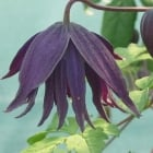 Clematis Macropetala Purple Spider