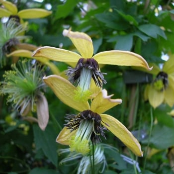 Clematis Serratifolia Golden Harvest