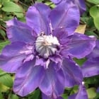 Clematis Shikoo