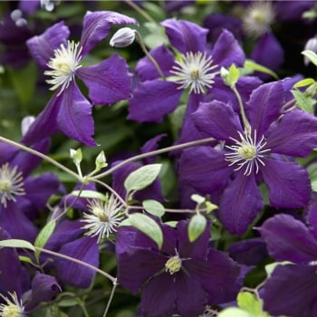 Clematis Viticella Mary Rose