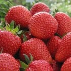 Sweetheart Strawberries Carry 6 Pack
