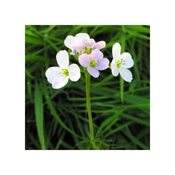 Cuckoo flower (Lady's Smock)
