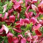 Cytisus Windlesham Ruby