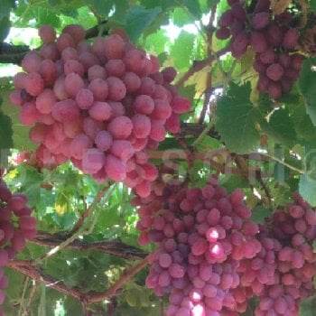 Fruiting Grape Vines Crimson Seedless