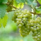 Fruiting Grape Vines Riesling G P