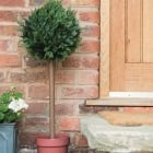 Topiary Ball Tree Cypress Effect
