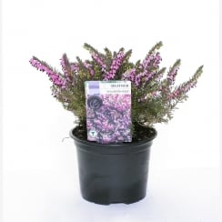 Heather Single Varieties 1 Litre - Our Selection