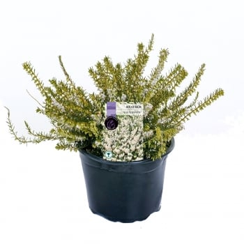 Heather Single Varieties 2 Litre - Our Selection