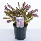 Heather Single Varieties 9cm - Our Selection