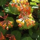 Honeysuckle Heckrotii Gold Flame