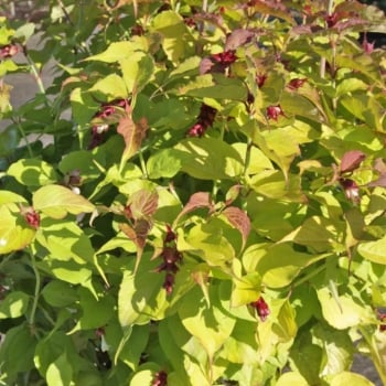 Leycesteria Golden Lanterns