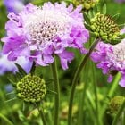 Loam/Variable Soils Perennial Wildflower Seeds