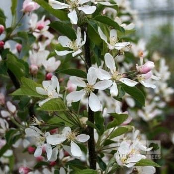 Malus White Star
