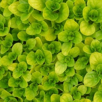 Marjoram Golden