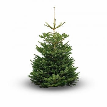 Nordmann Fir - Premium (Scottish Grown)