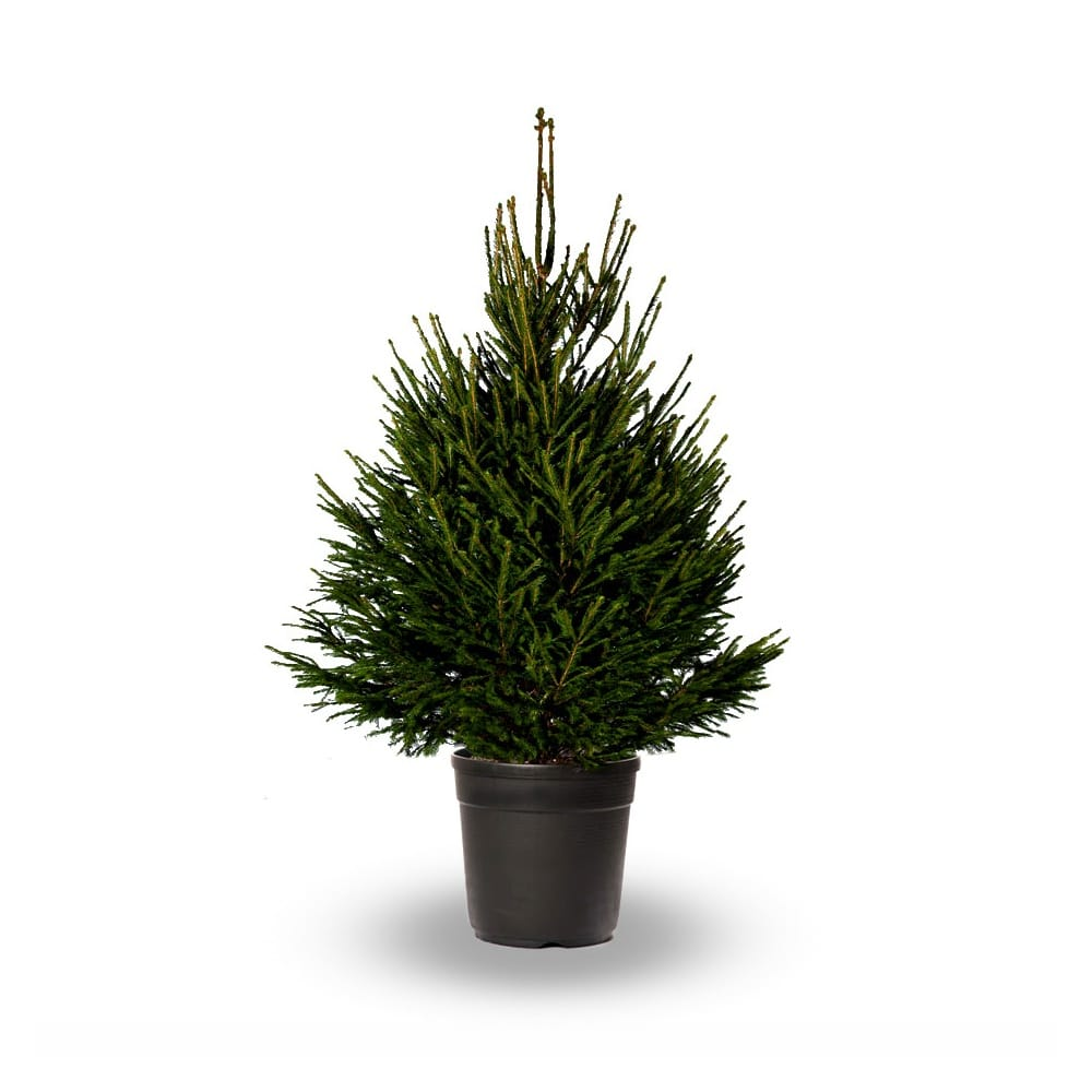 Christmas Tree Pot: 2.5-3ft Norway Spruce