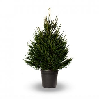 Norway Spruce - Pot Grown