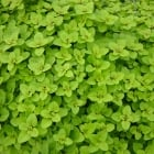 Oregano Golden