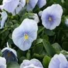 Pansy Azure Blue