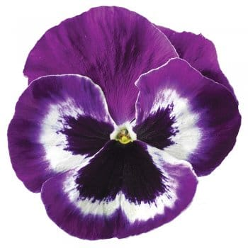 Pansy Beaconsfield