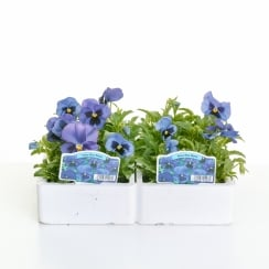 Pansy Blue Blotch