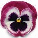 Pansy Cassis